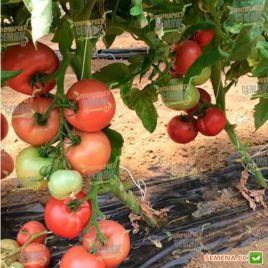 Розалба F1 (TL 12774 F1) семена томата индет. окр. 300 гр. роз. (Esasem)