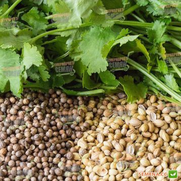 Марокканський семена кориандра (Euroseed)