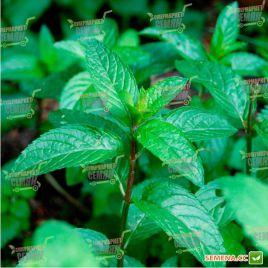 Перечная мята семена (Euroseed)