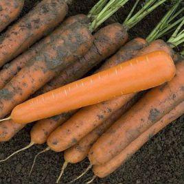 Эксельсо F1 семена моркови Нантес средней 110-115 дн. (Vilmorin)