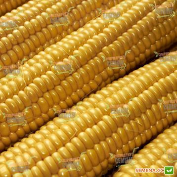 Легаси F1 семена кукурузы суперсладкой (Harris Moran )