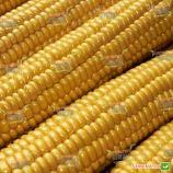 Легасі F1 насіння кукурудзи солодкої Su (Harris Moran)