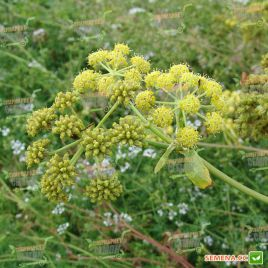Любисток лекарственный семена (Hem Zaden ПН)