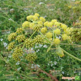 Любисток лікарський насіння (Hem Zaden (Голландія)