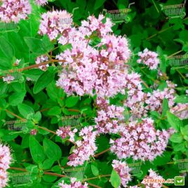 Майоран (Орегано) семена (Hem Zaden ПН)