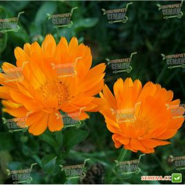 Ноготки (календула) лекарственные семена (Hem Zaden ПН)