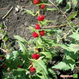 Земляничный шпинат семена (Hem Zaden)