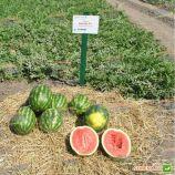 Антем F1 насіння кавуна тип Кримсон Світ (Hollar Seeds)
