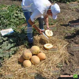 Гурмет F1 семена дыни тип Галия ранней 70-75 дн. 1,8-2,5 кг окр. оран./крем. (Hollar Seeds)