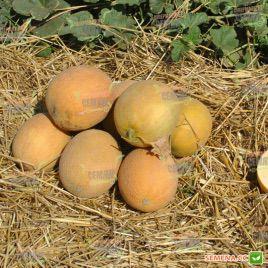 Гурмет F1 семена дыни тип Галлия (Hollar Seeds)