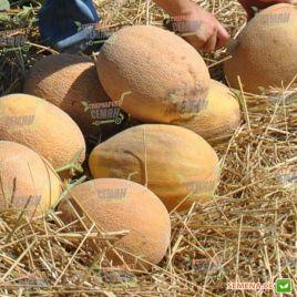 Мерлин F1 семена дыни тип Ананас ранней 85-90 дн. 3,2-3,5 кг овал. (Hollar Seeds) НЕТ ТОВАРА