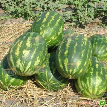 Триумф F1 семена арбуза тип кр.св. среднего 87-90 дн. 12-18 кг удл. (Hollar Seeds)