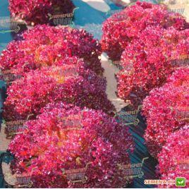 Лолло Росса семена салата (Hortus)