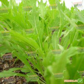 салат горчичный мизуна зеленая