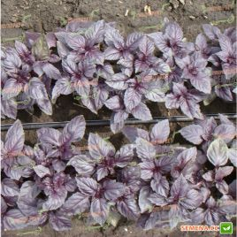 Ред Рубин семена базилика красного (Euroseed)