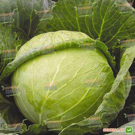 Слава семена капусты б/к средней (Hortus)