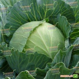 Украинская осень семена капусты б/к поздней (Euroseed)
