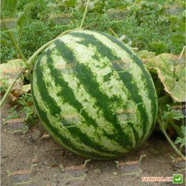 АУ Продюсер семена арбуза тип Кримсон Свит среднераннего 70-80 дн. 10-12 кг (Innova Seeds)