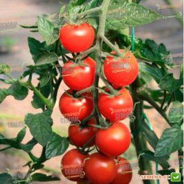 Коти F1 семена томата индет. черри (May Seeds)