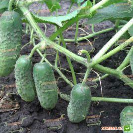 Надя F1 семена огурца партенокарпического (May Seeds) НЕТ СЕМЯН