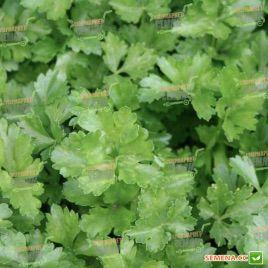 Итальянский Гигант семена петрушки листовой (Rem seeds)