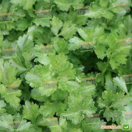 Итальянский Гигант семена петрушки листовой (Servise plus (GSN))
