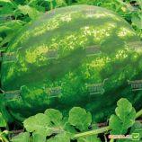 Денвер F1 семена арбуза тип Кримсон Свит (SAIS)
