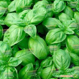 Геновезе семена базилика зеленого (SAIS)