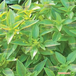 Лимонный семена базилика зеленого (SAIS)