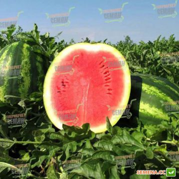 Викинг F1 семена арбуза тип кр.св. среднего 80-85 дн 8-12 кг окр. (SAIS)
