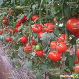 Дунай (К 20.48) F1 семена томата индет. среднераннего окр. 250-300г (Tezier/Clause) НЕТ СЕМЯН