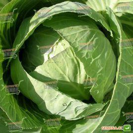 Селтик F1 семена капусты б/к среднеранней 70-75 дн. 1,8-2,2 кг (Tezier)