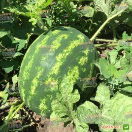 Биант F1 (Эркен F1) семена арбуза тип кр.св. ультрараннего 55 дн. 8-10 кг окр. (Yuksel)