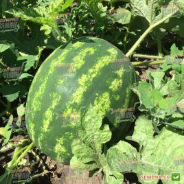 Биант F1 (Эркен F1) семена арбуза тип Кримсон Свит ультрараннего 55 дн. 8-10 кг (Yuksel)