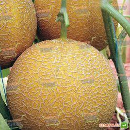 Гедиз F1 семена дыни тип Галия (Yuksel)