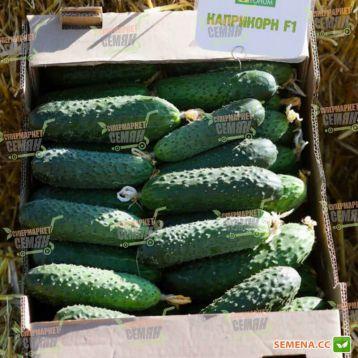 Каприкорн F1 семена огурца корнишона партенокарп. раннего 32-35 дн. 12-14 см (Yuksel)