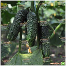 Каприкорн F1 семена огурца партенокарп. раннего 32-35 дн. 12-14 см (Yuksel)