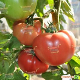 Пинк Пантер F1 семена томата индет. розового (Yuksel)
