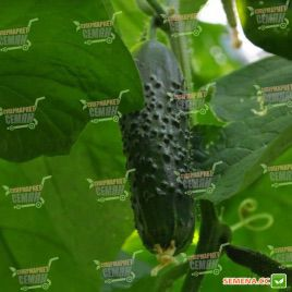 семена огурца сарацин f1
