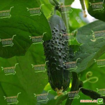 Сарацин F1 (Мозаик) семена огурца корнишона партенокарп. раннего 32-35 дн. 12-14 см (Yuksel) НЕТ ТОВАРА