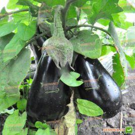 Везир F1 семена баклажана (Yuksel)