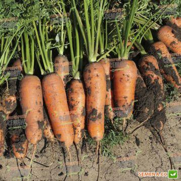 Чикаго F1 семена моркови Шантане (2.0-2.2мм) (Wing Seed)