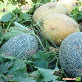 Бижур F1 семена дыни тип Ананас среднеспелой 80-85 дней 1,8-3 кг удл. (Vilmorin)