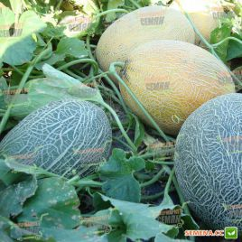 Бижур F1 семена дыни тип Ананас средней 80-85 дней 1,8-3 кг удл. оран./крем. (Vilmorin)