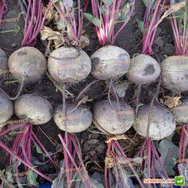 Камаро F1 семена свеклы столовой (Vilmorin)