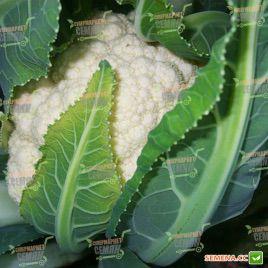 Локрис F1 семена капусты цветной (Vilmorin)