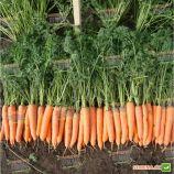 Олимпо F1 семена моркови Шантане (Vilmorin)