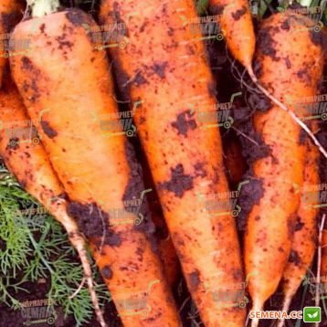 Диаменто F1 (VAC 75 F1) семена моркови Шантане (VD) (Vilmorin)