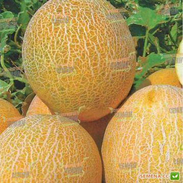 Амалик F1 семена дыни тип Ананас (United Genetics)