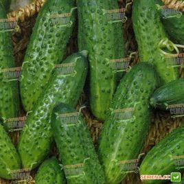 семена огурца грин пик f1
